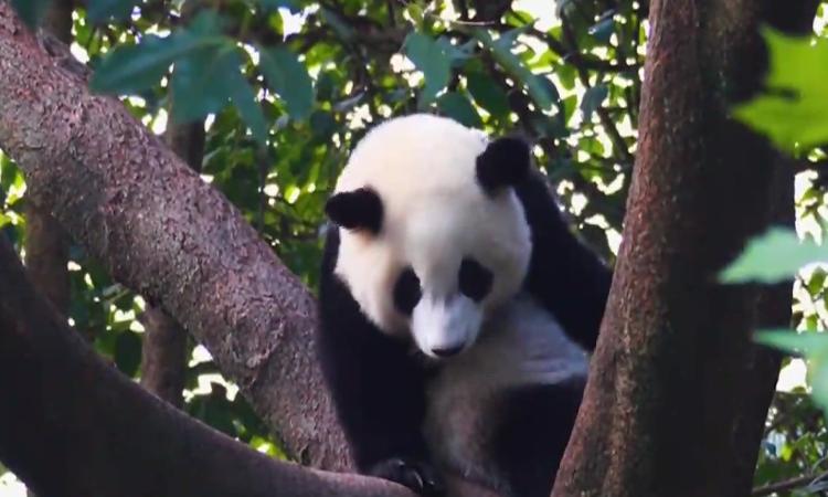 """以熊猫之名 引全球资源 明年5月打卡最""""萌""""度假区"""