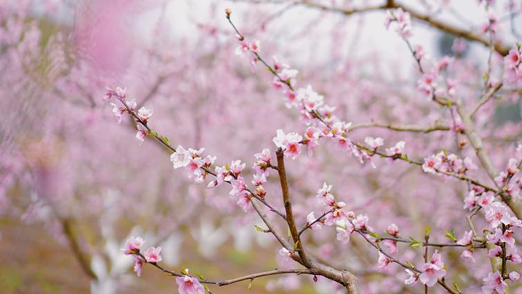 直播预告丨带你去看成都被春天独宠的地方