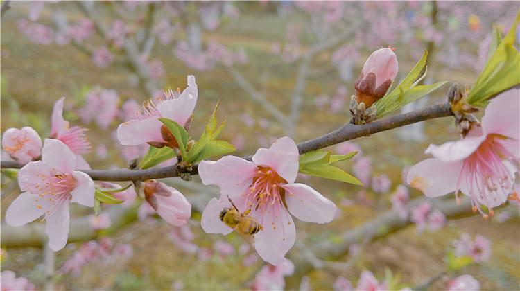 我在成都搜集春天 送你一朵美美的花