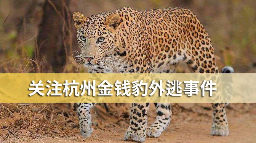 关注杭州金钱豹外逃事件