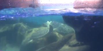 成都首次人工孵化国家一级保护动物绿海龟 原来它长这样……